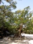 Massive Camphor Tree at the shrine