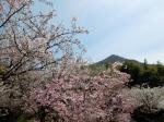 Cherry Blossoms on Omishima Island.
