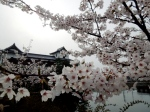 Cherry blossoms at Imabari Castle.