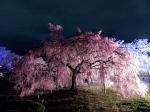 Weeping plum tree at Himeji Castle.